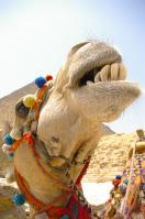 Laughing Camel -