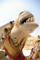 Laughing Camel Photo Print