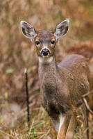 Being Seen by a Deer -