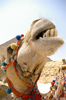 Laughing Camel
